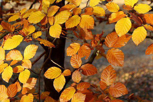 Yellow Leaves, Beech, Autumn Weather