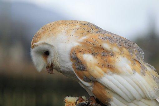 80 Gambar Serak Jawa Burung Hantu Gratis Pixabay