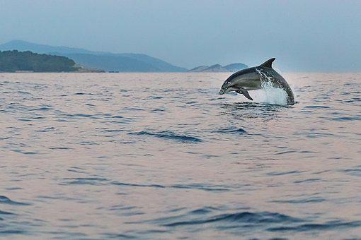 Dolphin, Adriatic, Sea, Animals