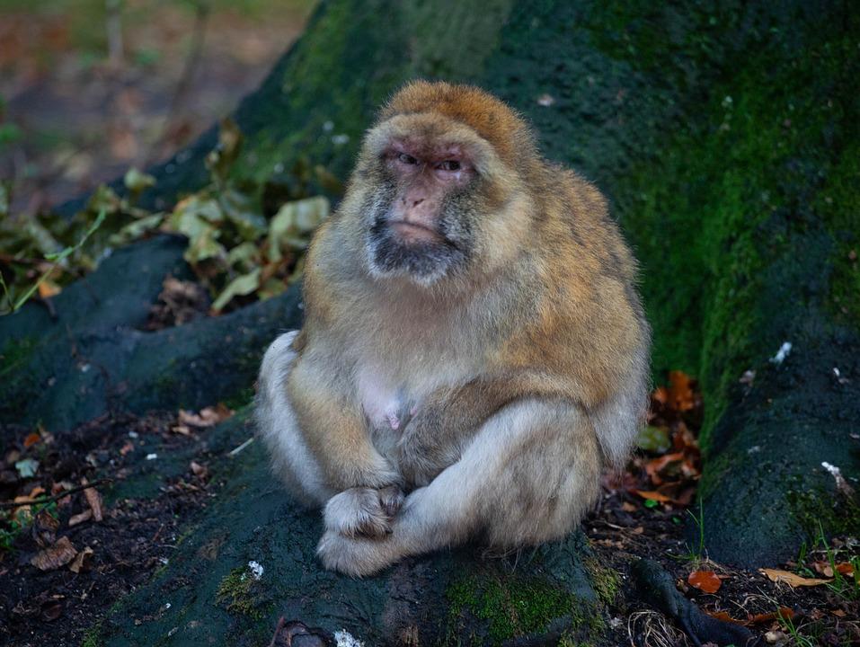 Unduh 100+ Gambar Monyet Marah Paling Bagus Gratis