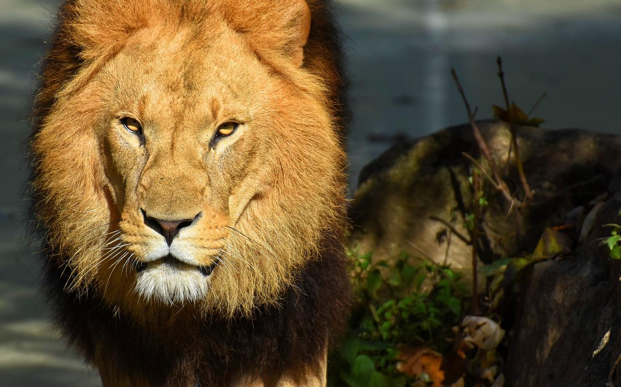 狮子捕食视频 老鹰捕食视频
