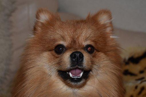 Dog, Spitz, Pomeranian, Portrait