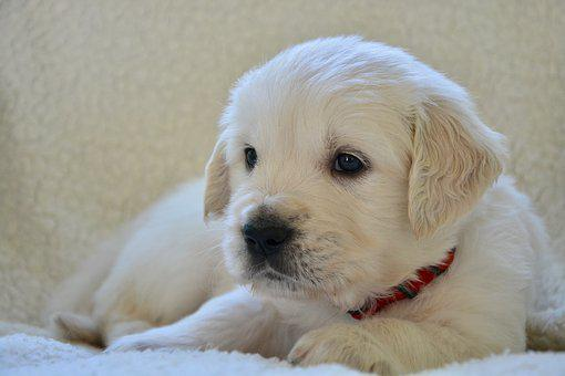 200+ Free Golden Retriever Puppy & Golden Retriever Images