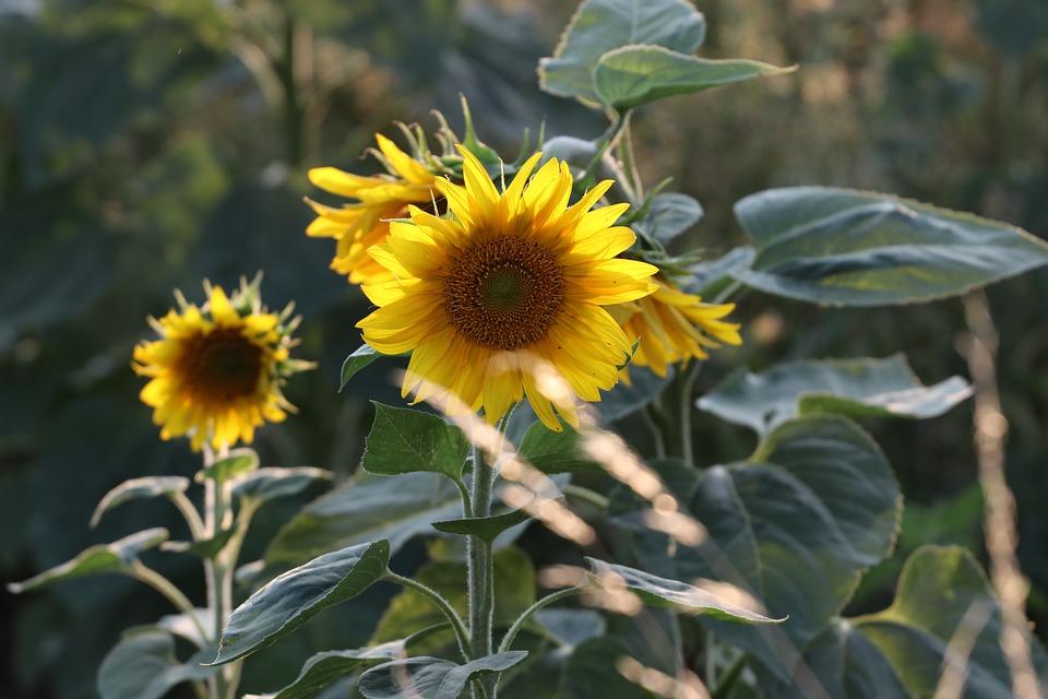 Sunflower yellow flower free photo on pixabay sunflower yellow flower blossom bloom plant bloom mightylinksfo