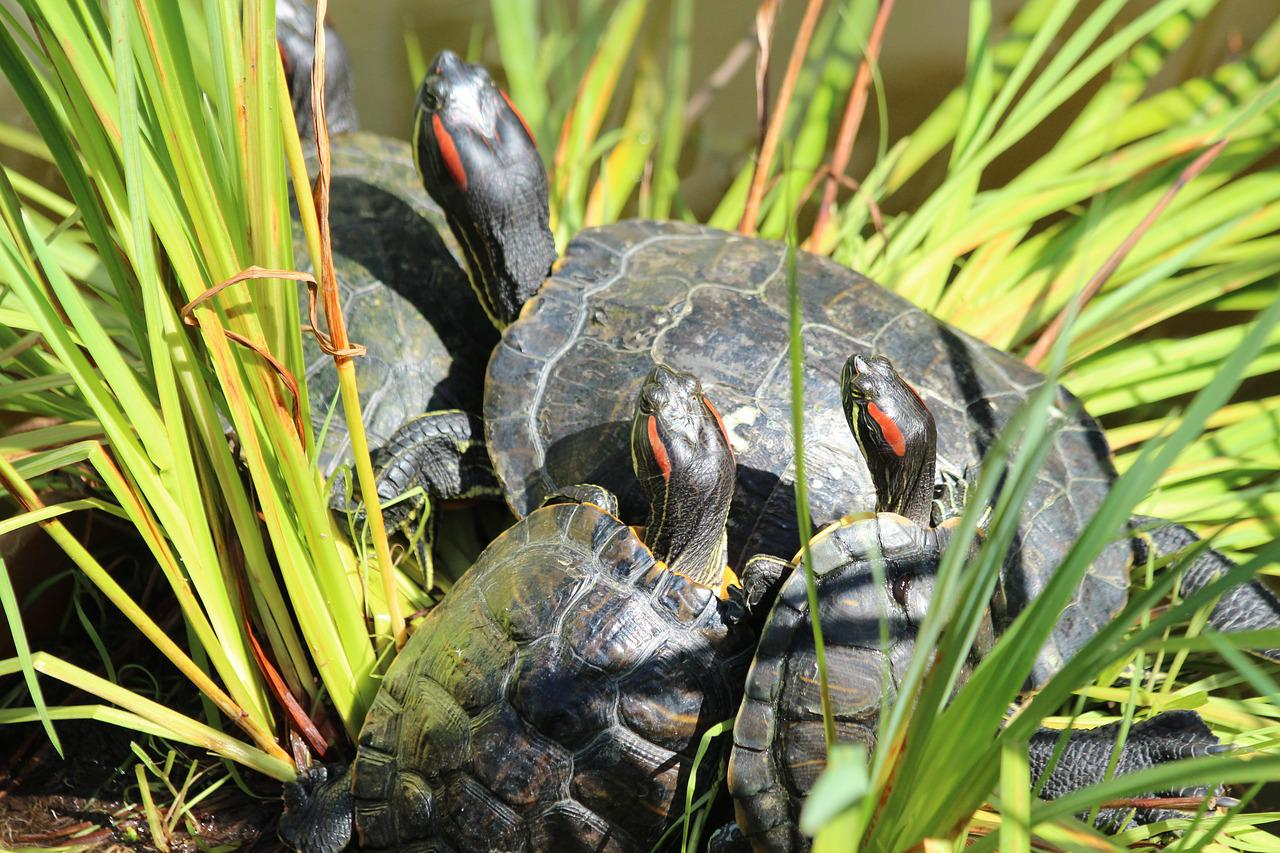 красноухая черепаха на воле фото сражались