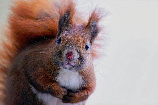 Squirrel, Fur, Cute, Forest, Mammal