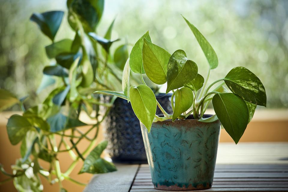 Plantas, Pothos, Epipremnum Aureum poto para cocina