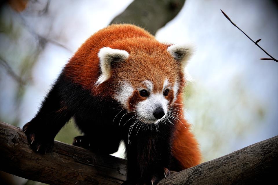 Panda, Panda Rojo, Mamífero, Zoológico, Lindo