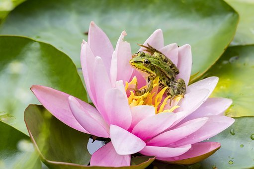 Frog, Nature, Amphibian, Animal, Water