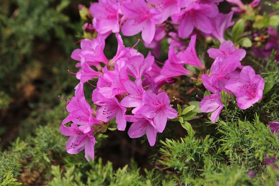 Rododendro pianta fiori rosa foto gratis su pixabay