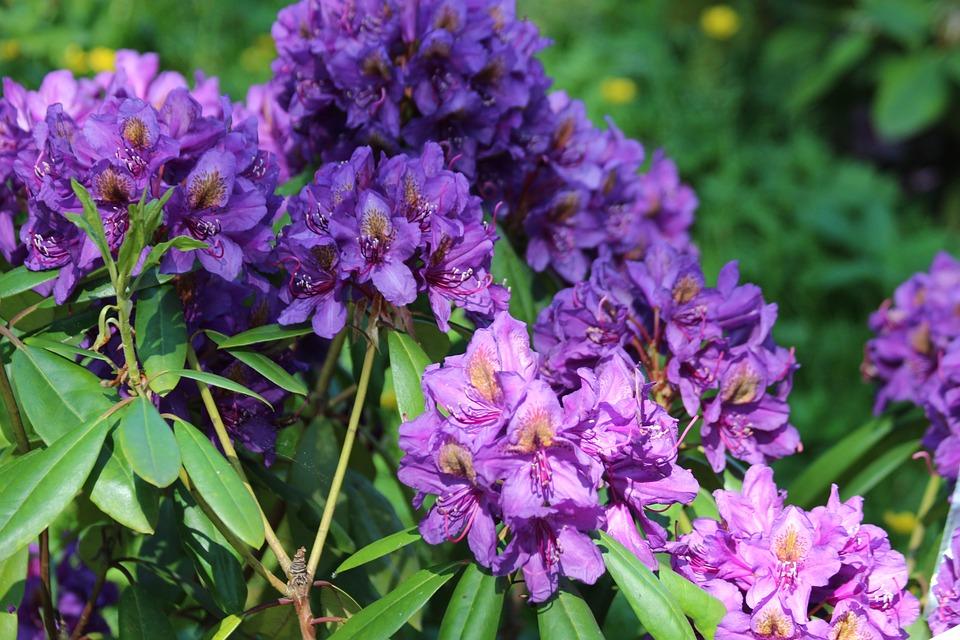 Pianta Fiori Viola.Rododendro Pianta Fiori Viola Foto Gratis Su Pixabay