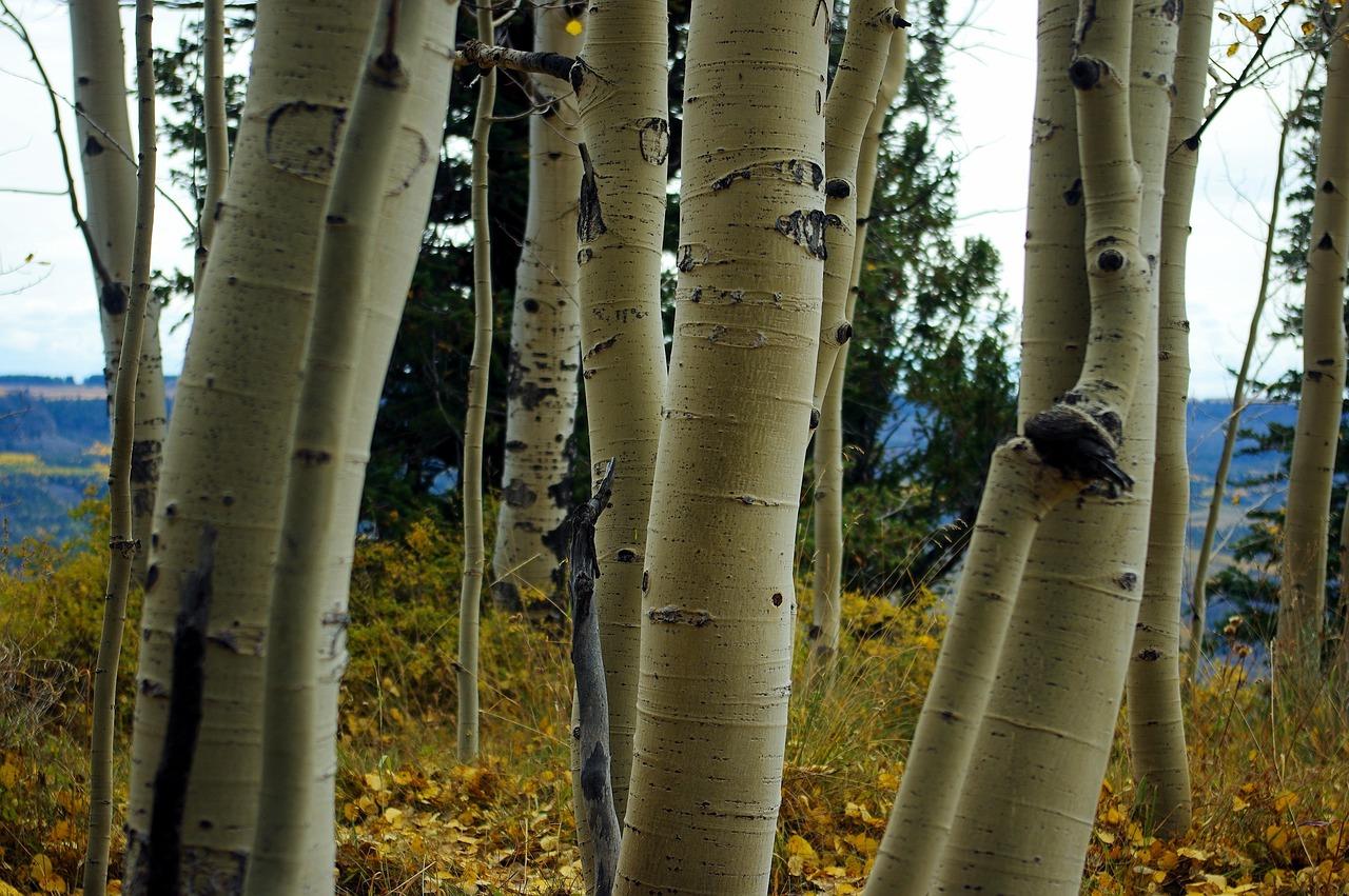 White Bark Aspens Aspen Birch - Free photo on Pixabay
