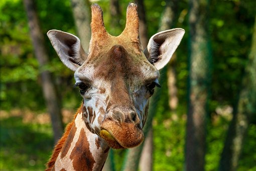 长颈鹿, 动物世界, 头, 动物肖像, 动物园, 动物