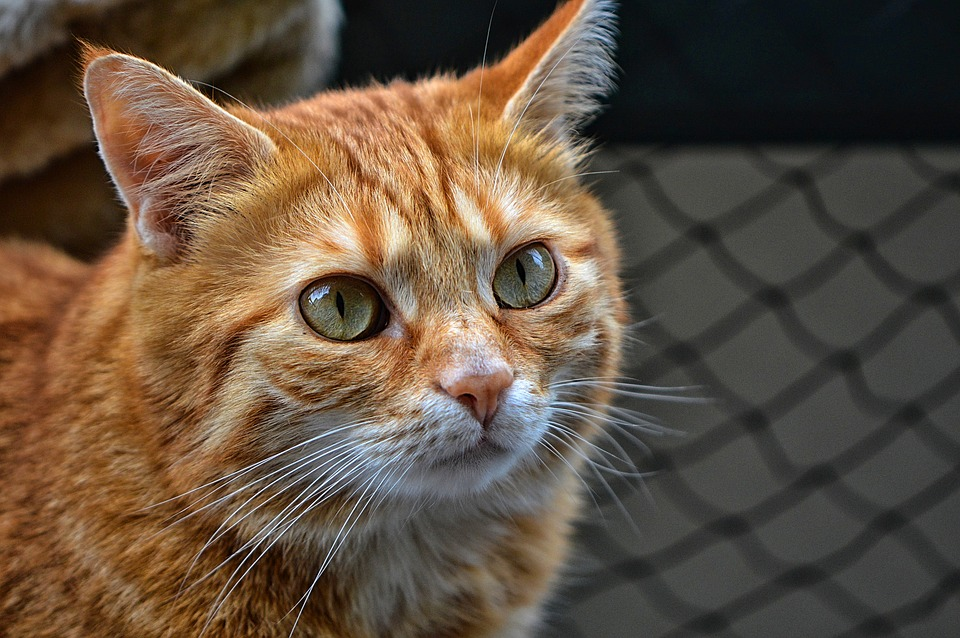 Červená hlava mačička