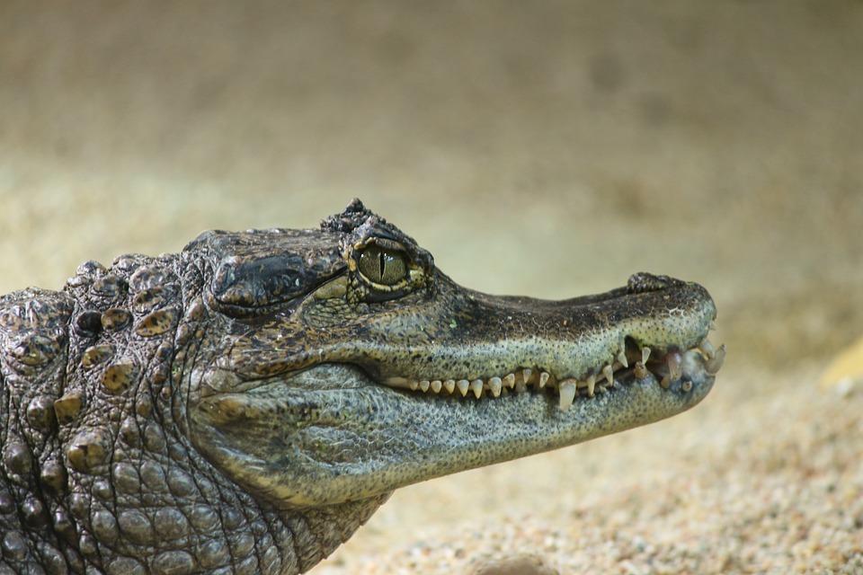 จระเข้หมู่เกาะเคย์แมน, Caiman Crocodilus, จระเข้