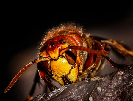 Hornet, Hornets, Wasps, Wasp, Insect