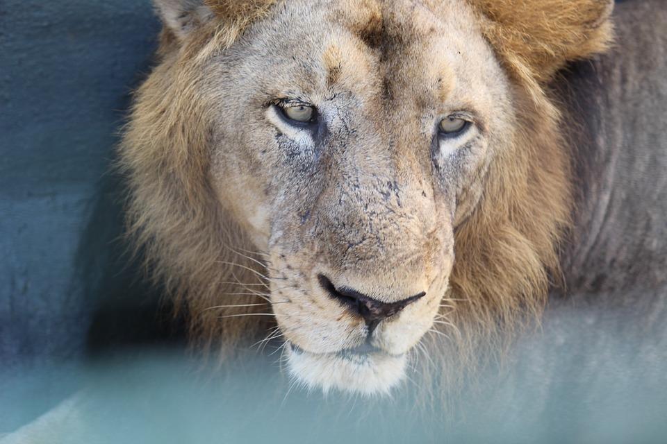 Leone, Aggressività, Natura, Zoo, Pericolose, Selvatici