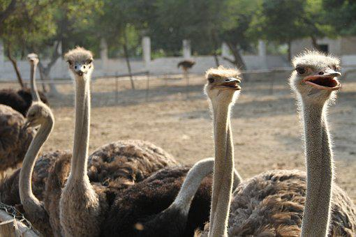 Common Ostrich, Bird, Ostrich, Bigbird