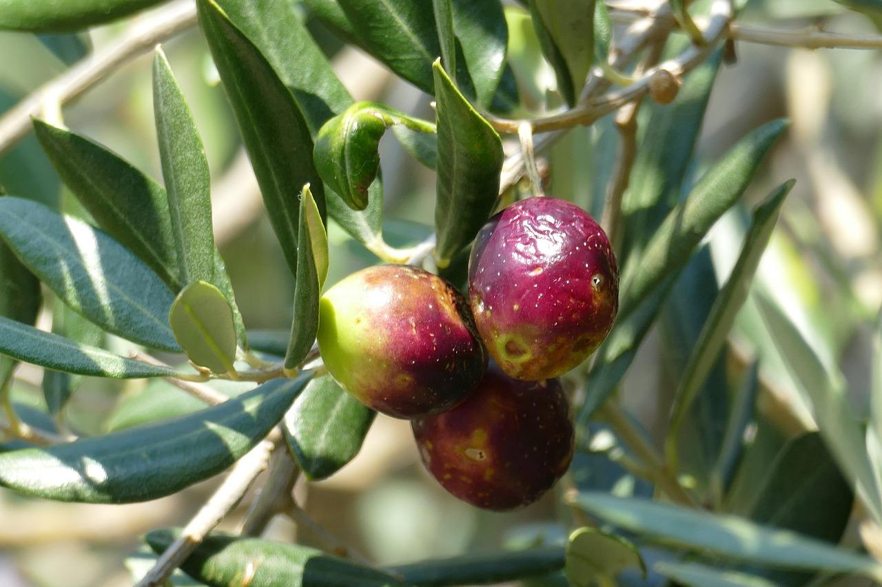 новой дерево олива фото для рабочего стола процесс