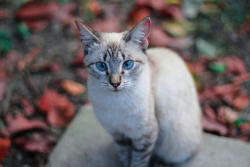Cats Blue Eyes Feline , Free photo on Pixabay
