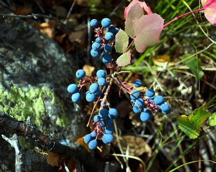 Blue Wild Berries In Tetons, Blue