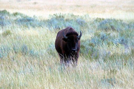 Bison Near Kelly Wyoming, Bison, Nature