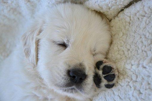 Golden Retriever Puppy, Puppy Sleep, Pup