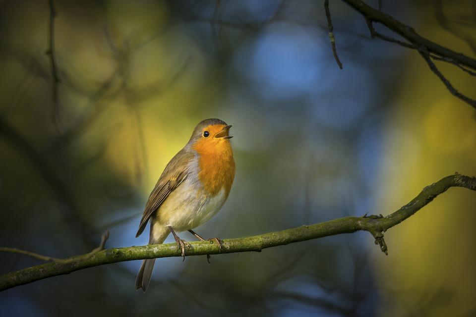 Robin, Singing, Nature, Wild, Bird