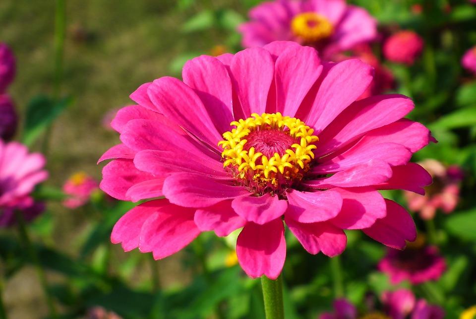 Flower, Zinnia, Pink, Garden, Nature, Colored, Summer