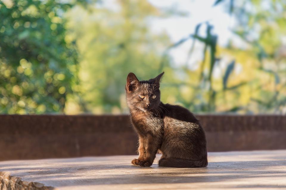 Africká černá kočička com