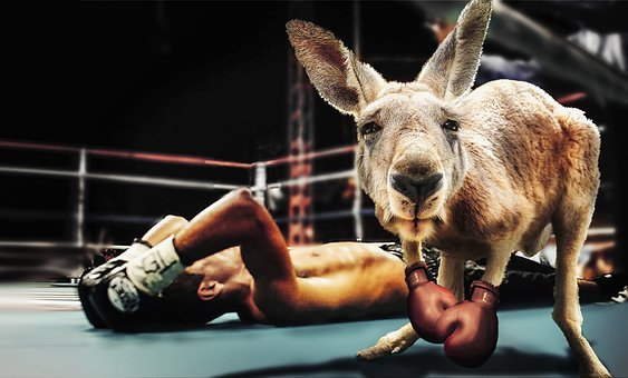 Box, Boxing Match, Kangaroo
