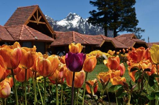 GN Viajes y Alojamientos, Tulipanes detrás de ellos casas y al fondo montaña nevada