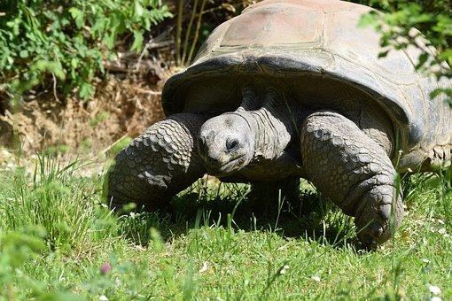 Tortoise, Turtle, Armored, Giant