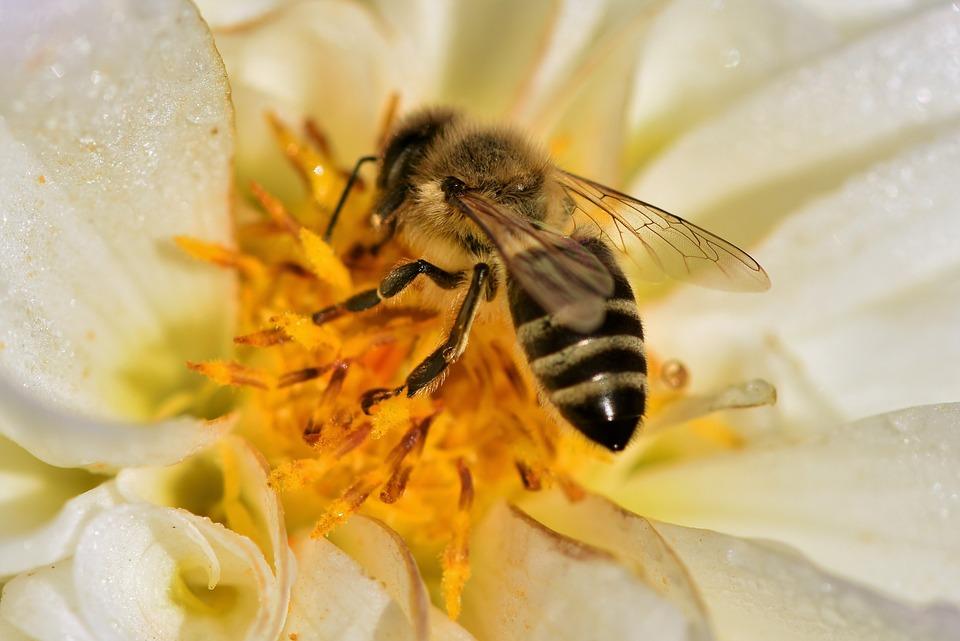 Dalia, Fiore, Ape, Honey Bee, Polline, Insetto, Nettare