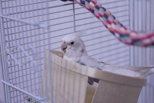 Cockatiel, Birds, Parrot, Animal, Pet
