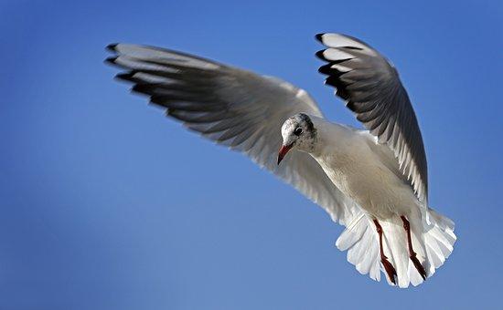 Seagull, Flight, Sky, Water Bird