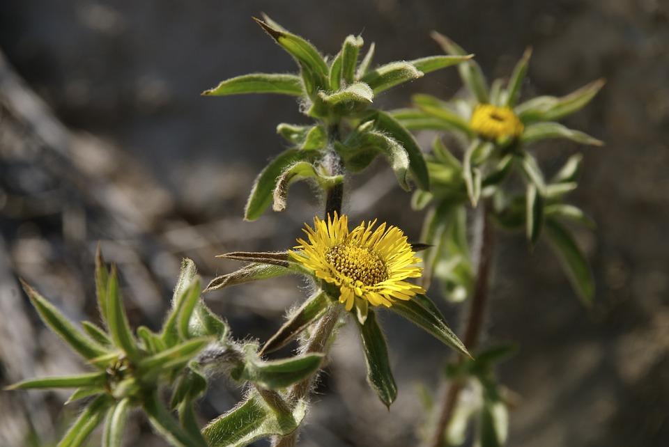 Yellow Flowers Mediterranean Free Photo On Pixabay