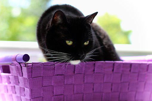 Cat, Black, White, Sitting, Basket