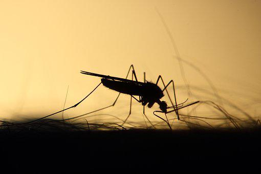 Mosquito, Feeding, Silhouette, Skeeter