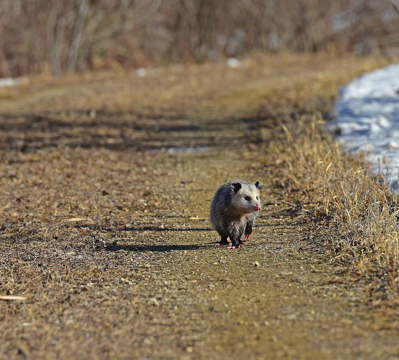 características-de-la-marmosa