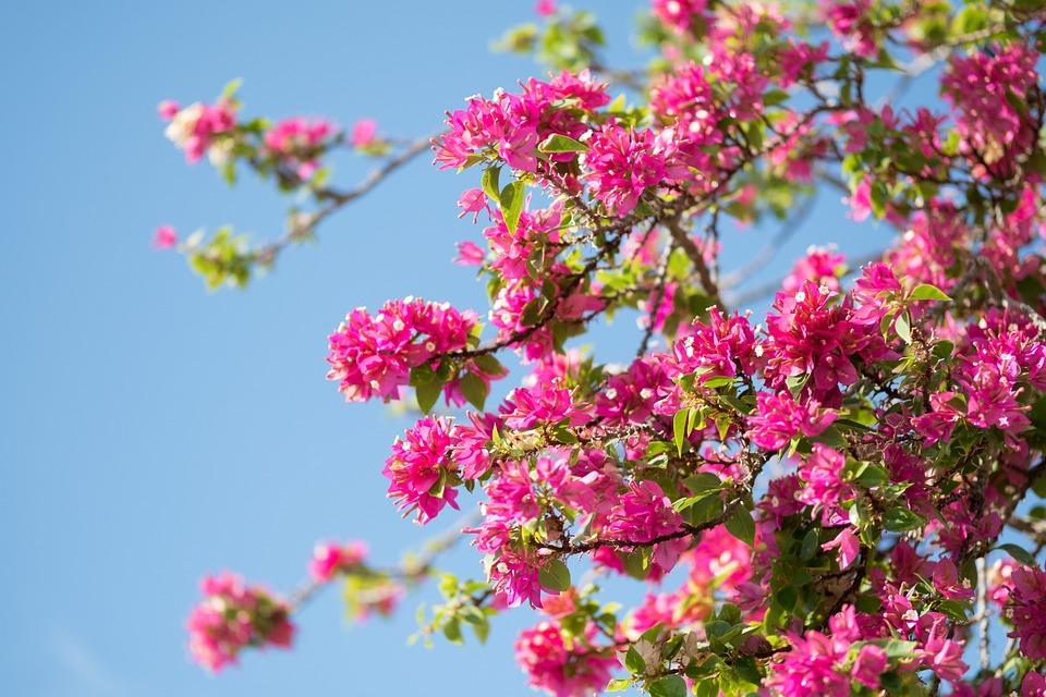 Pink Flower Bush Free Photo On Pixabay