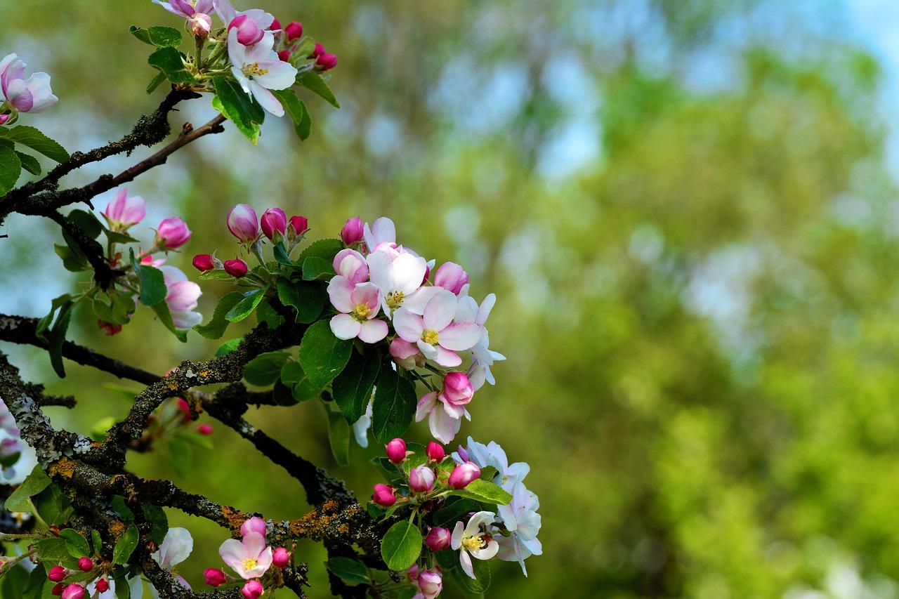 Apple Blossoms Tree Spring - Free photo on Pixabay