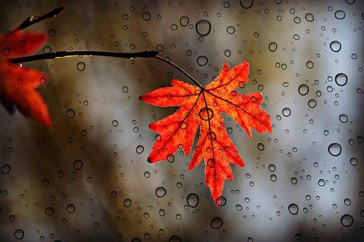 Leaf, Maple, Autumn, Foliage, Botany