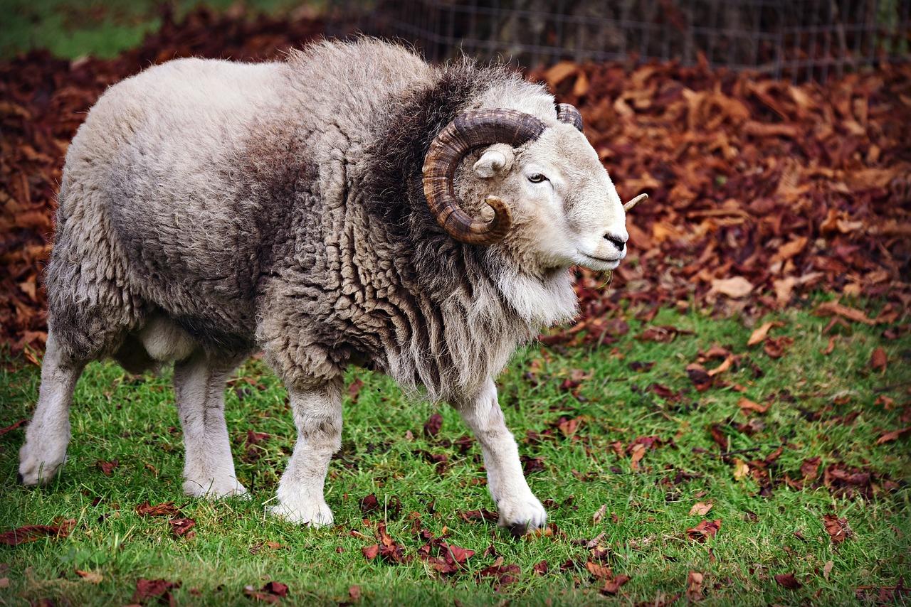 孕妇梦到羊是生女孩吗 胎梦梦见羊是男孩女孩