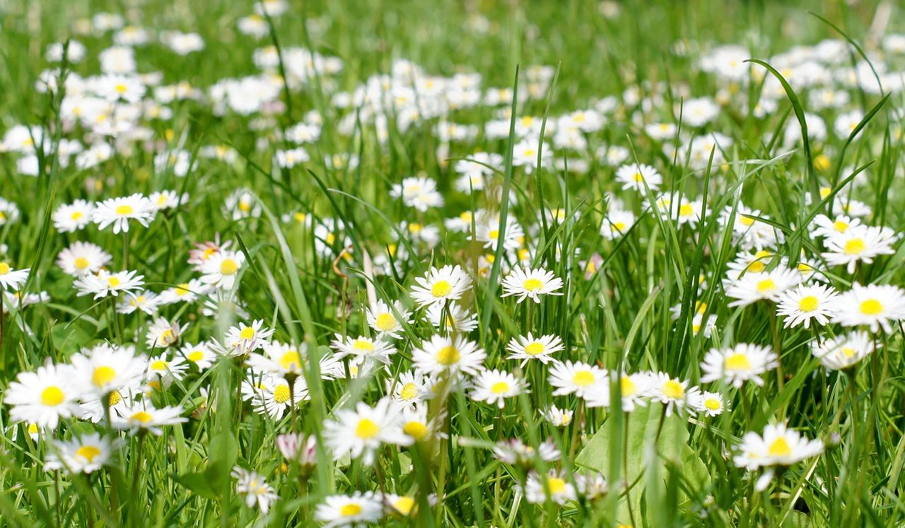 Трава с ромашками фото строгой