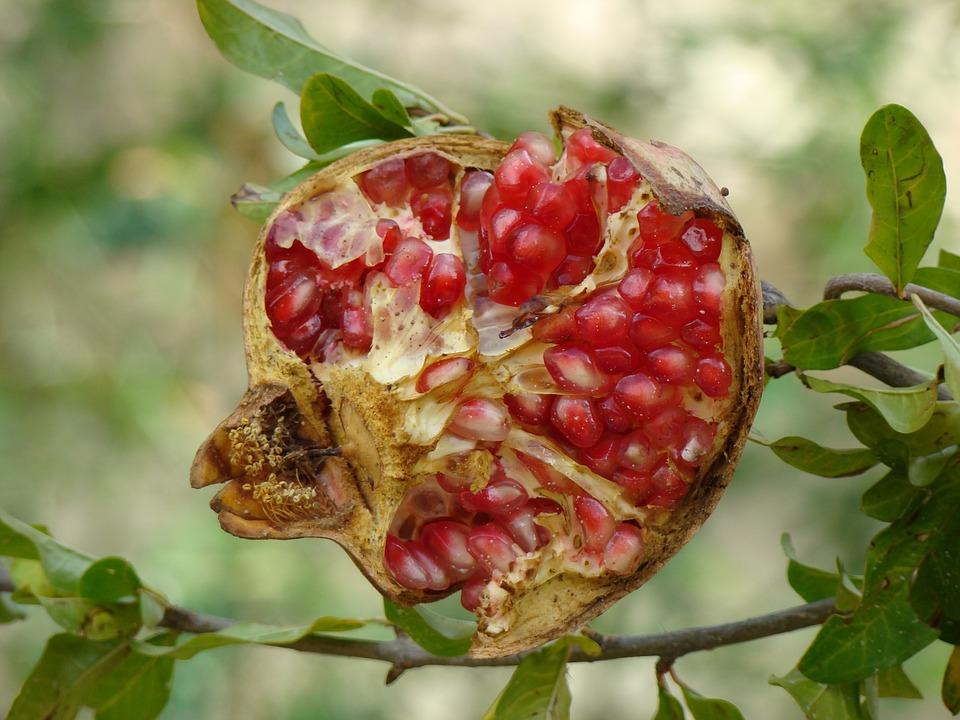 fruit granada forest free photo on pixabay