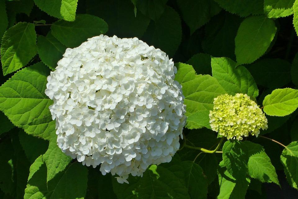 Fleur Blanche Boule De Neige Photo Gratuite Sur Pixabay