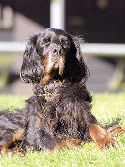 Dog, Gordon Setter, Sitting, Sunbathing