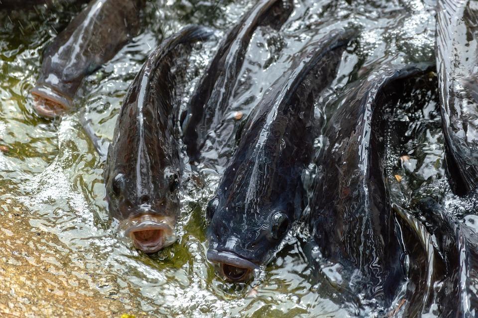 Импорт филе тилапии в США не претерпел значительных изменений