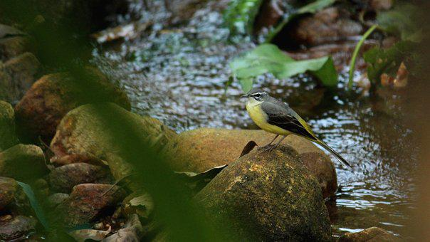 Bird, Avian, Sitting, Stream, Rock